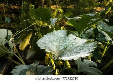 Zhuchini leaf damaged with powdery mildew