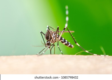 Zica virus aedes aegypti mosquito sucking blood on human skin,Dengue, Chikungunya, Mayaro, Yellow fever