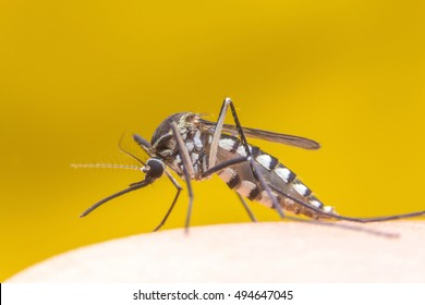 Zica virus aedes aegypti mosquito on human skin in yellow background - Dengue, chikungunya fever, microcephaly