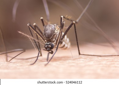 Zica virus aedes aegypti mosquito on human skin in black background - Dengue, chikungunya fever, microcephaly