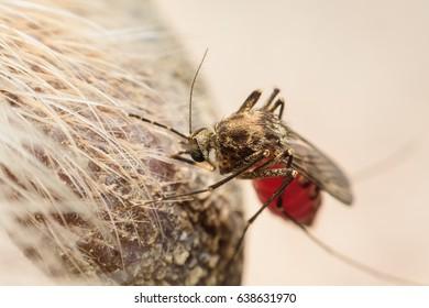 Zica virus aedes aegypti mosquito on dog