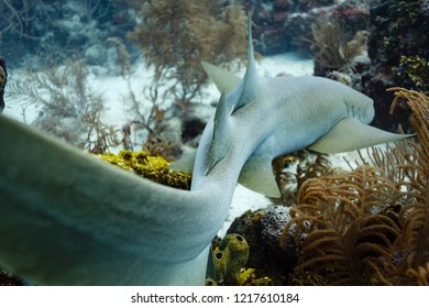 Zigzag pattern of gray nurse shark body and tail slithering through bed of coral