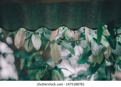 Zinc eaves that are rusted, shrouded in sunlight and have leaves covered