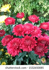 Zinia gracefully or better known by the scientific name Zinnia elegans is one of the most famous annual flowering plants of the genus Zinia