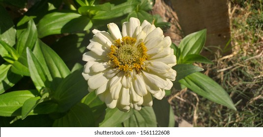 Zinia gracefully or better known by the scientific name Zinnia elegans noisy blurred