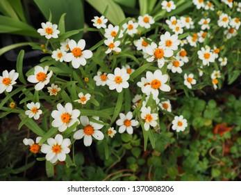 Zinnia angustifolia flowers in the garden, selective focus