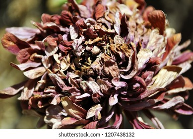 Zinnia bicolor flaccid flower,  close up detail, soft blurry background