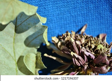 Zinnia bicolor flaccid flower and white oak leaf,  close up detail, bright blue textured background