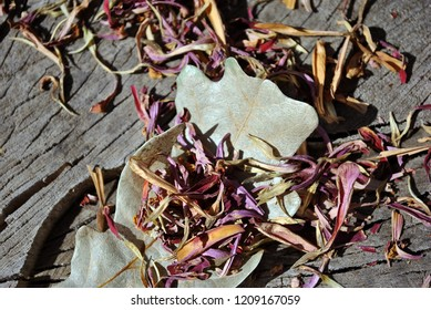 Zinnia bicolor flaccid pink flower petals and white oak leaves,  close up detail, soft gray wooden  background, top view