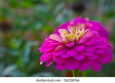 Zinnia elegans  Compositae.Flower