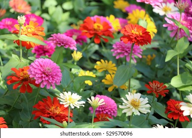 Zinnia elegans flowers in the park at Thailand