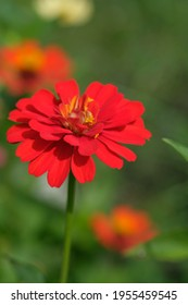 zinnia elegans flowers are red. This flower is widely spread in the tropics. grows wild as a shrub also used as an ornamental plant.