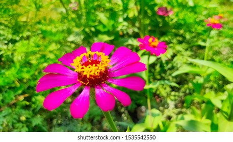 Zinnia elegans, general zinnia or elegant zinnia, an annual flowering plant of the genus Zinnia, is one of the most famous zinnias. It is native to Mexico but grows as an ornamental plant.