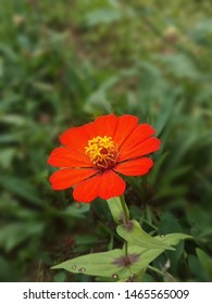 Zinnia elegans, known as youth-and-age common zinnia or elegant zinnia, an annual flowering plant of the genus Zinnia, is one of the best known zinnias. It is native to Mexico.
