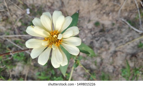 Zinnia elegans, known as youth-and-age, common zinnia or elegant zinnia, an annual flowering plant of the genus Zinnia, is one of the best known zinnias