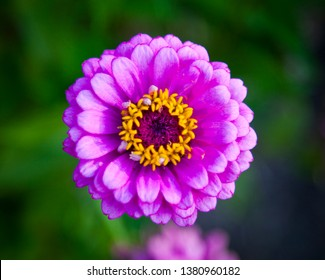 Zinnia Elegans, known as youth and age, common zinnia or elegant zinnia a genus of plants of the sunflower tribe within the daisy family. Purple Pink petals with bright yellow anther