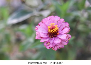 Zinnia elegans, known as youth-and-age, common zinnia or elegant zinnia, an annual flowering plant of the genus Zinnia, is one of the best known zinnias.