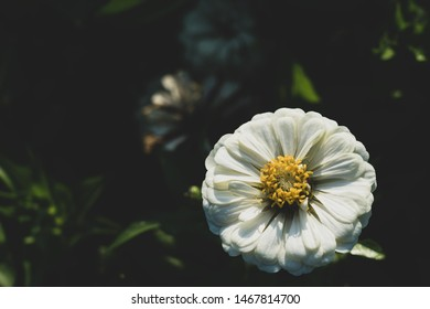 Zinnia elegans, known as youth-and-age, common zinnia or elegant zinnia, an annual flowering plant of the genus Zinnia, is one of the best known zinnias dark color