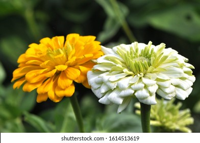 Zinnia elegans, known youth-and-age , common zinnia or elegant zinnia, an annual flowering plant of the genus Zinnia, is one of the best known zinnias.