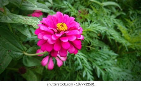 Zinnia elegans known as youth-and-age, common zinnia or elegant zinnia, an annual flowering plant of the genus Zinnia, is one of the best known zinnias. pink zinnias in the garden.