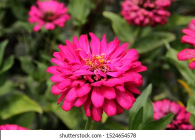 Zinnia elegans is one of the most famous annual flowering plants of the genus Zinia.