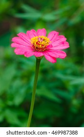 Zinnia, flower.