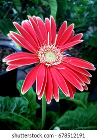 Zinnia flower blooming for background or wallpaper , beautiful color