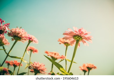 Zinnia flower and blue sky in the garden nature and park vintage