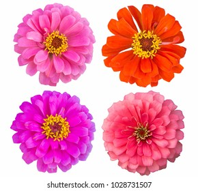Zinnia flower Collection,set of zinnia,pink ,red-orange,solf pink,isolated on white background with clipping path.