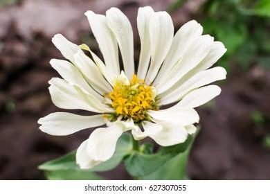 Zinnia flower in the garden close up