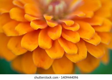 Zinnia flower petals close-up, soft focus