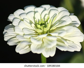 Zinnia flower in the plant green background
