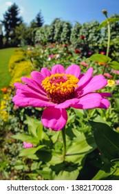 Zinnia flower in a small summer hosue garden in village in Masovia region of Poland