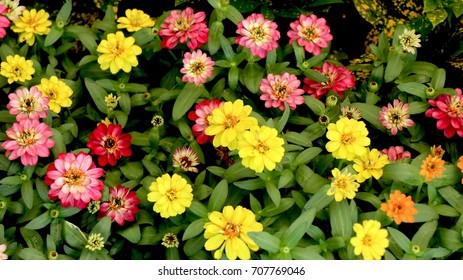 zinnia flower or youth and old age flower