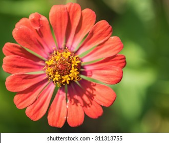 Zinnia flower,closeup of red Zinnia flower in full bloom,Youth-and-old-age flower