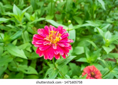 Zinnia flowers, bright colors or zinnia at the garden.