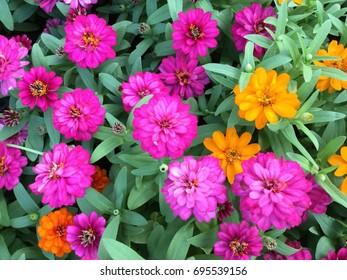 Zinnia, flowers in bright green fields.