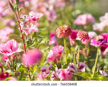 zinnia flowers with clarkias