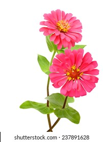 Zinnia flowers in pink colorful