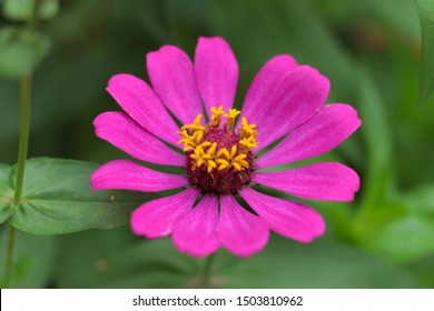 Zinnia flowers are planted as sacred plants believed to bring peace and tranquility to the family.