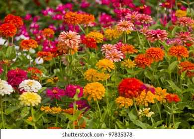 Zinnia flowers with shallow focus