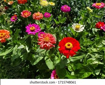Zinnia garden in the sun