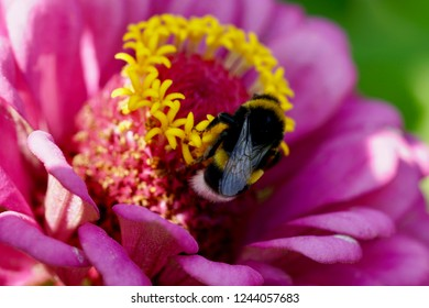 Zinnia growing in Switzerland in the yard with in pink color with a bumble bee for backgrounds and greeting cards, Asteraceae