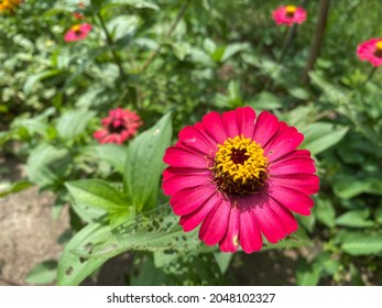 Zinnia with hot pink color blossomed in a garden.