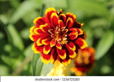 zinnia old mexico, background of a zinnia flower,  beautiful zinnia,  zinnia in the garden