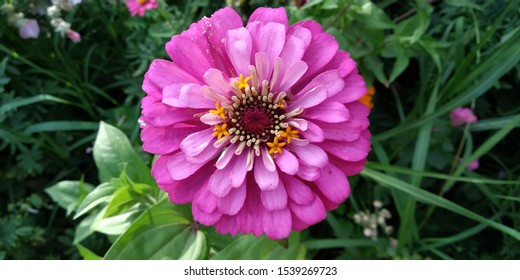 Zinnia is one of the easiest annuals to grow