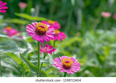Zinnia pink bloom On blurred background