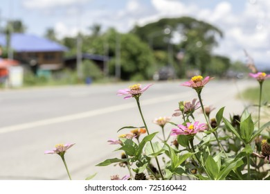 Zinnia pink bloom  at the roadside