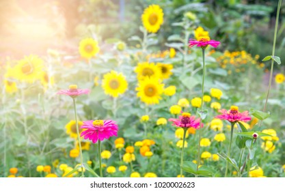 Zinnia pink flower garden in park. It beautiful pink and sunflower on morning in sunrise. A flower sometimes known as a bloom or blossom is the reproductive structure found in flowering plants.