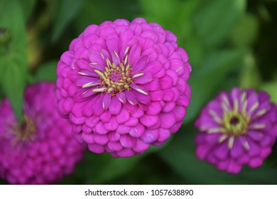 zinnia pink flowers with beautiful petals, blurred,soft focus,motionblur, Pink flowers in the garden